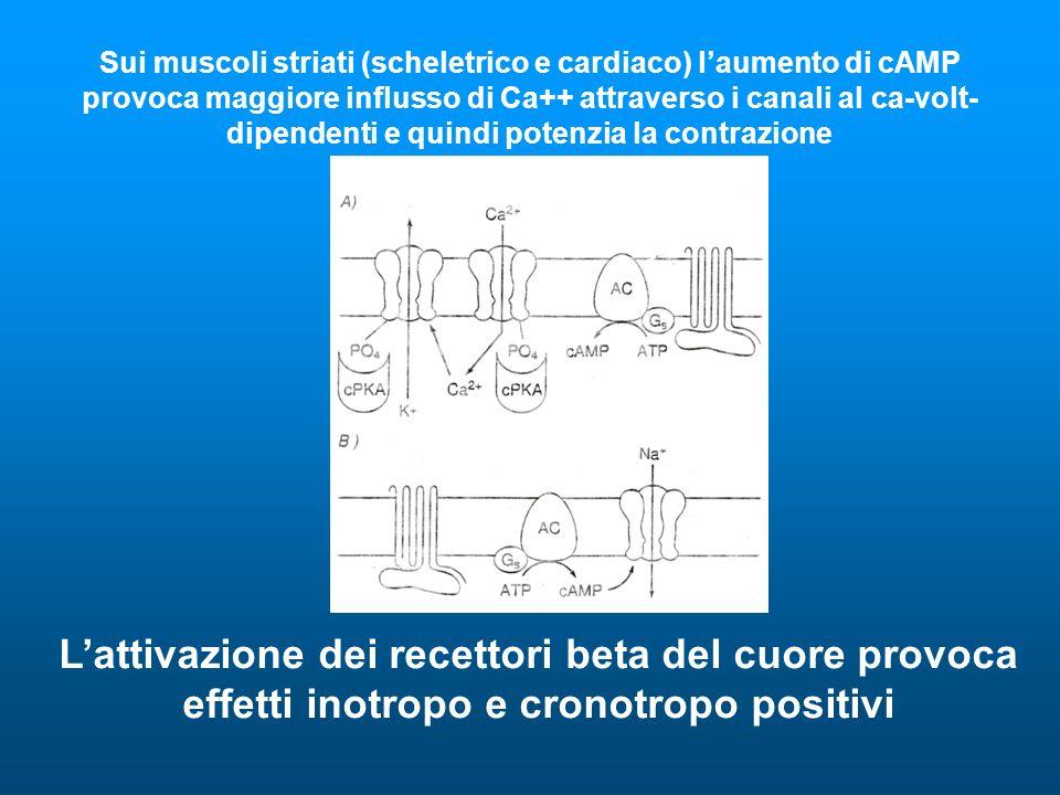 Sui muscoli striati (scheletrico e cardiaco) l'aumento di cAMP provoca maggiore influsso di Ca++ attraverso i canali al ca-volt-dipendenti e quindi potenzia la contrazione