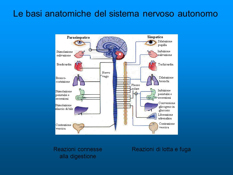 Le basi anatomiche del sistema nervoso autonomo