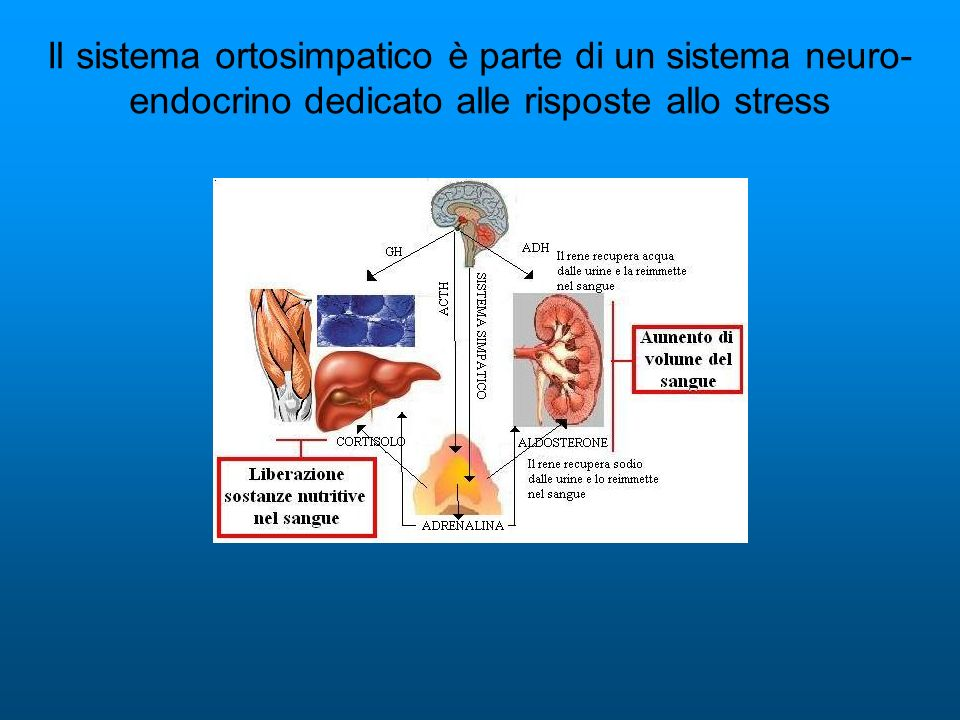 Il sistema ortosimpatico è parte di un sistema neuro-endocrino dedicato alle risposte allo stress
