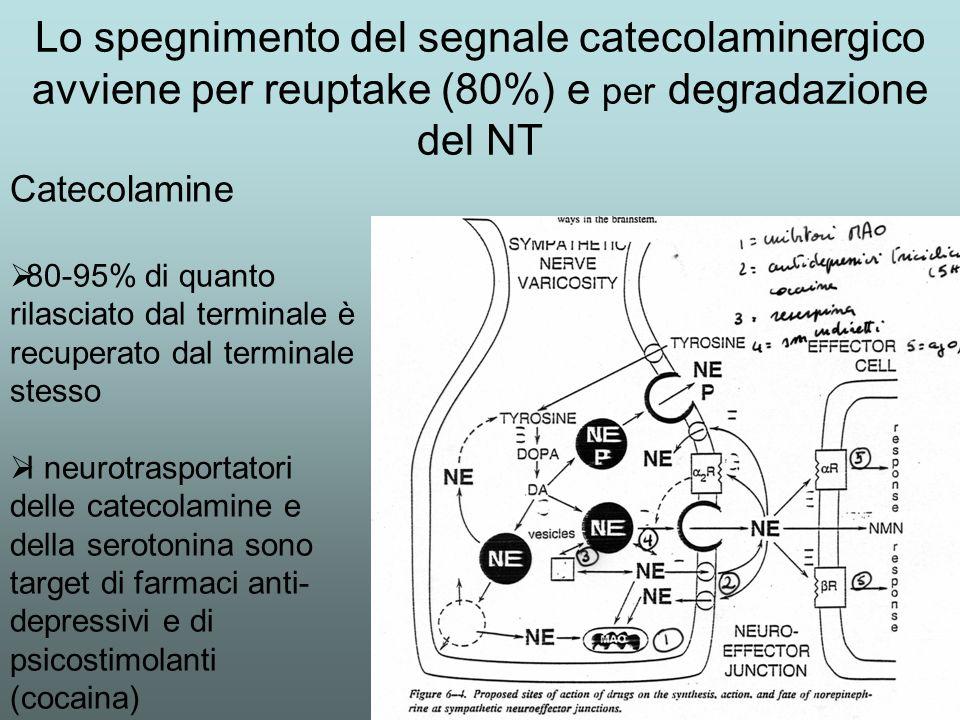 Lo spegnimento del segnale catecolaminergico avviene per reuptake (80%) e per degradazione del NT
