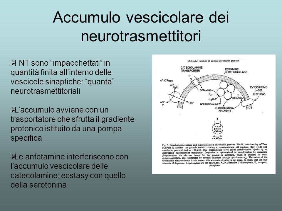 Accumulo vescicolare dei neurotrasmettitori