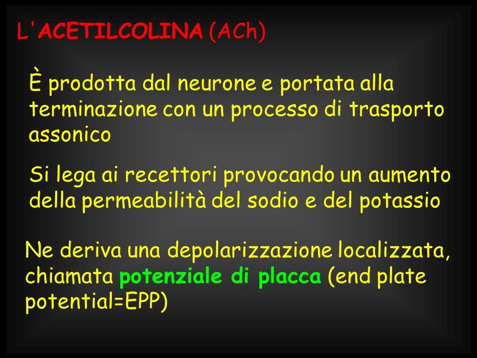 L ACETILCOLINA (ACh) È prodotta dal neurone e portata alla terminazione con un processo di trasporto assonico.