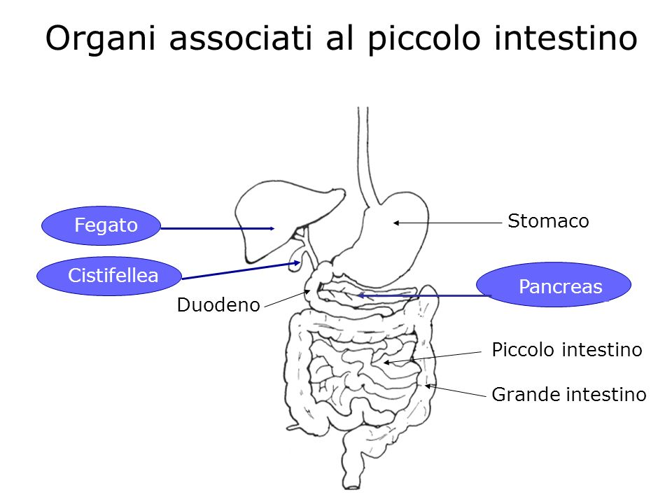 Organi associati al piccolo intestino