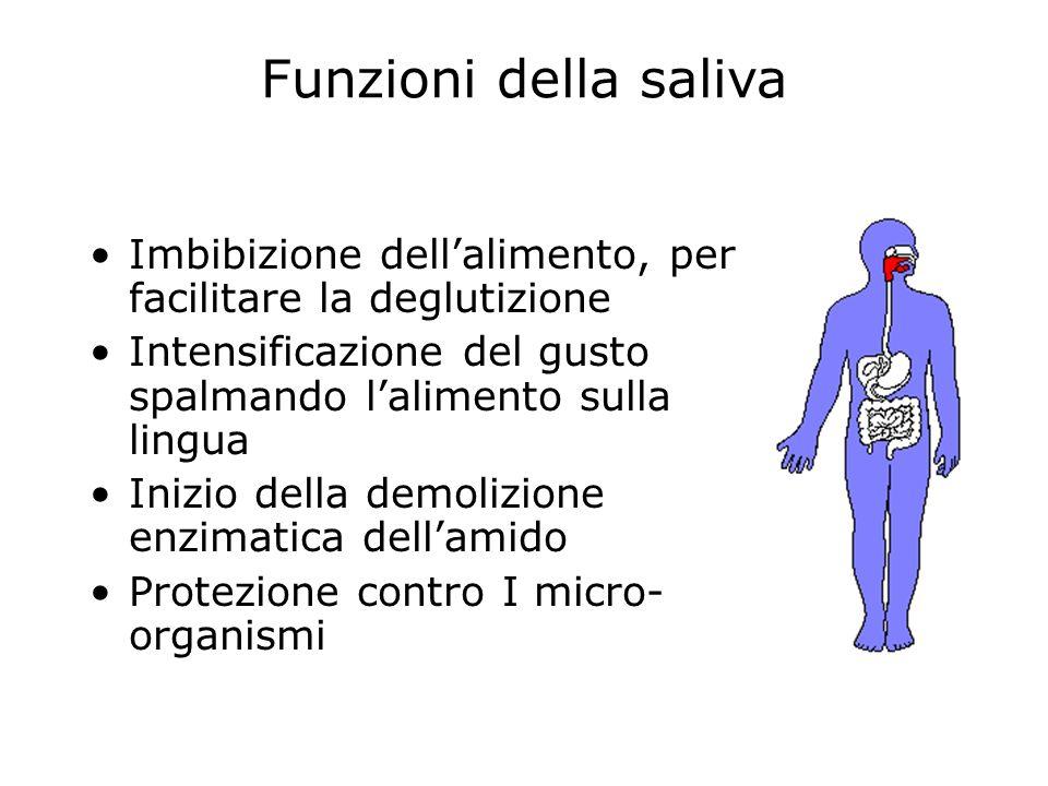 Funzioni della saliva Imbibizione dell'alimento, per facilitare la deglutizione. Intensificazione del gusto spalmando l'alimento sulla lingua.