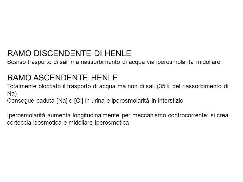 RAMO DISCENDENTE DI HENLE