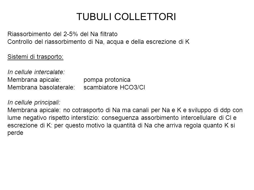 TUBULI COLLETTORI Riassorbimento del 2-5% del Na filtrato