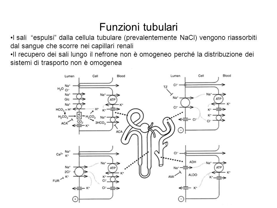 Funzioni tubulari I sali espulsi dalla cellula tubulare (prevalentemente NaCl) vengono riassorbiti dal sangue che scorre nei capillari renali.