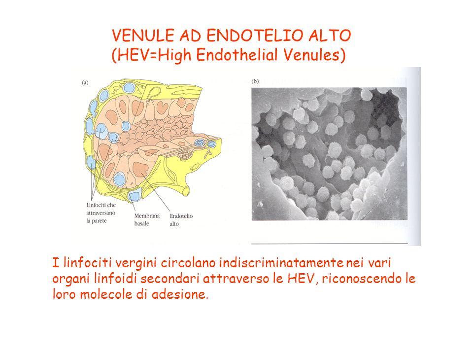 VENULE AD ENDOTELIO ALTO (HEV=High Endothelial Venules)