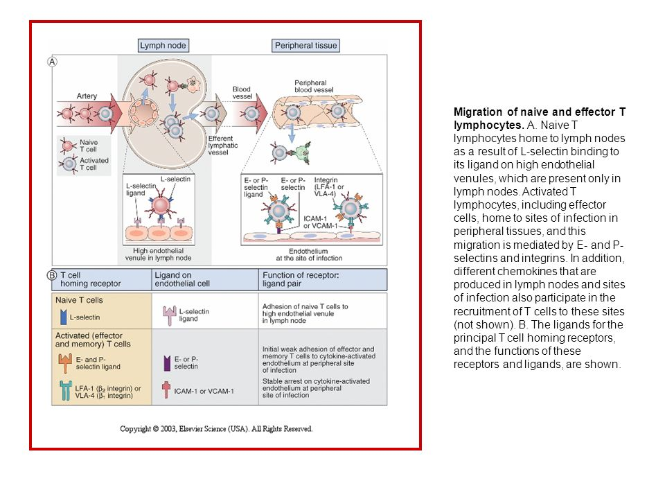 Migration of naive and effector T lymphocytes. A