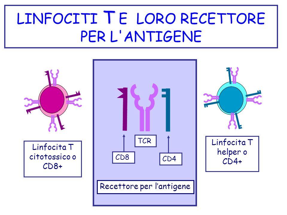 LINFOCITI T E LORO RECETTORE PER L ANTIGENE