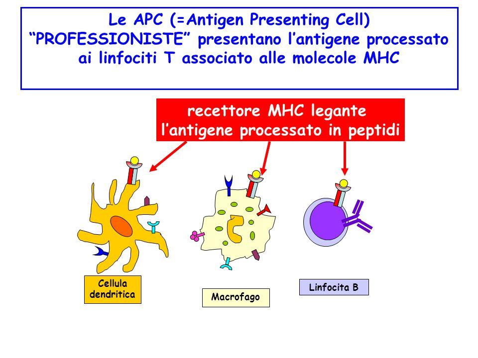 Le APC (=Antigen Presenting Cell) l'antigene processato in peptidi