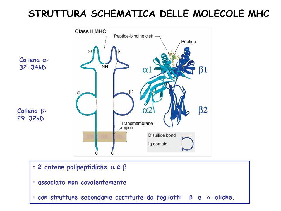 STRUTTURA SCHEMATICA DELLE MOLECOLE MHC