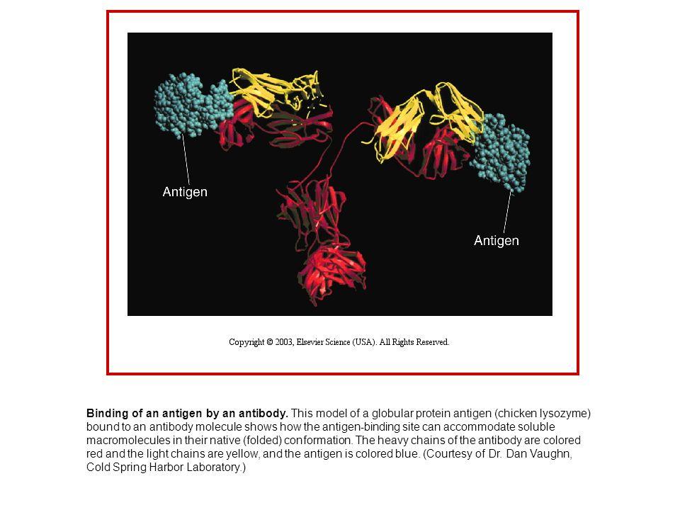 Binding of an antigen by an antibody