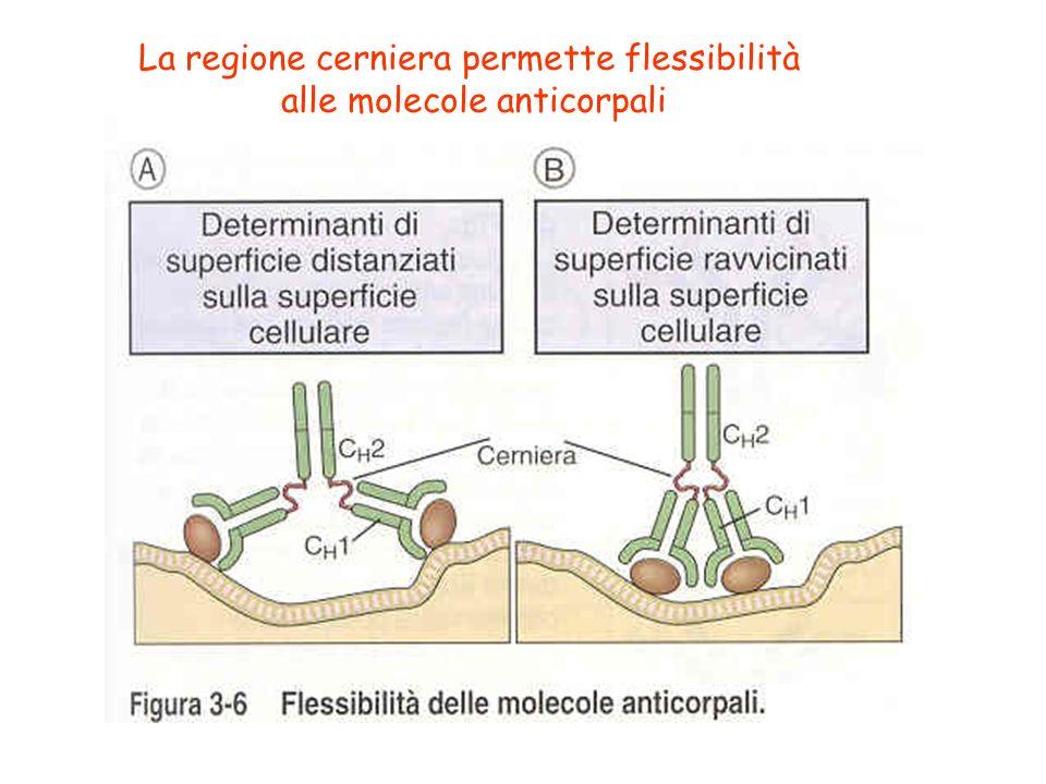 La regione cerniera permette flessibilità alle molecole anticorpali