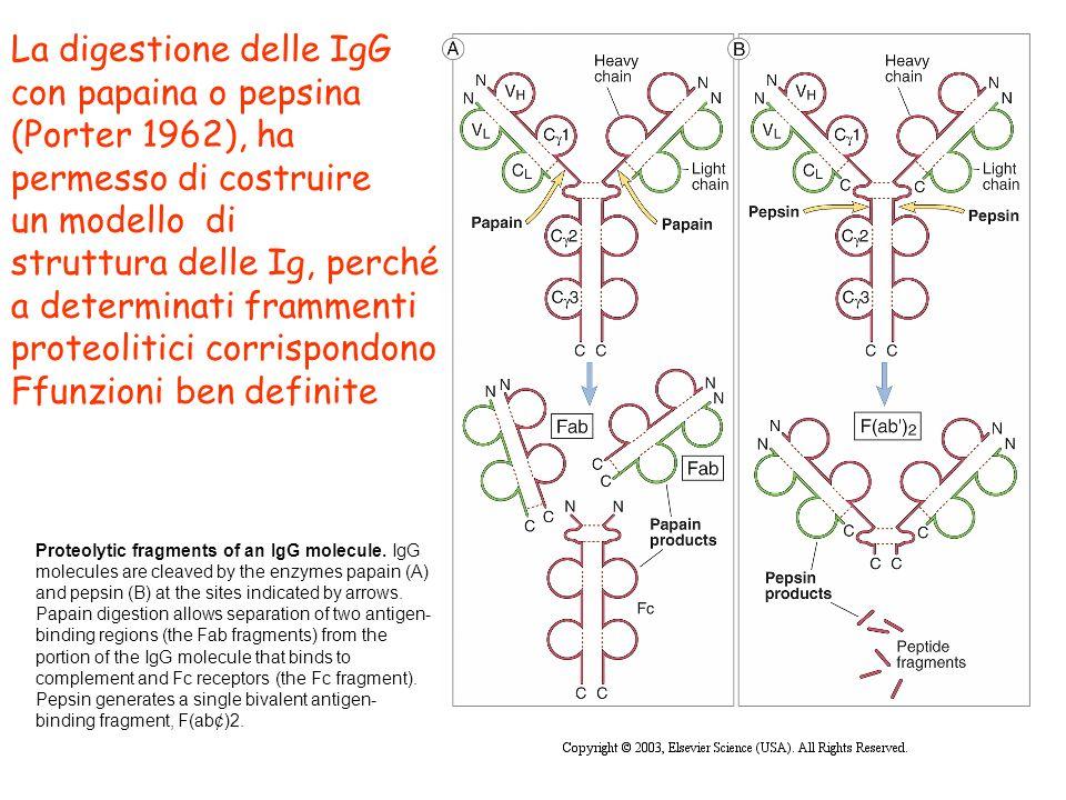 La digestione delle IgG con papaina o pepsina (Porter 1962), ha