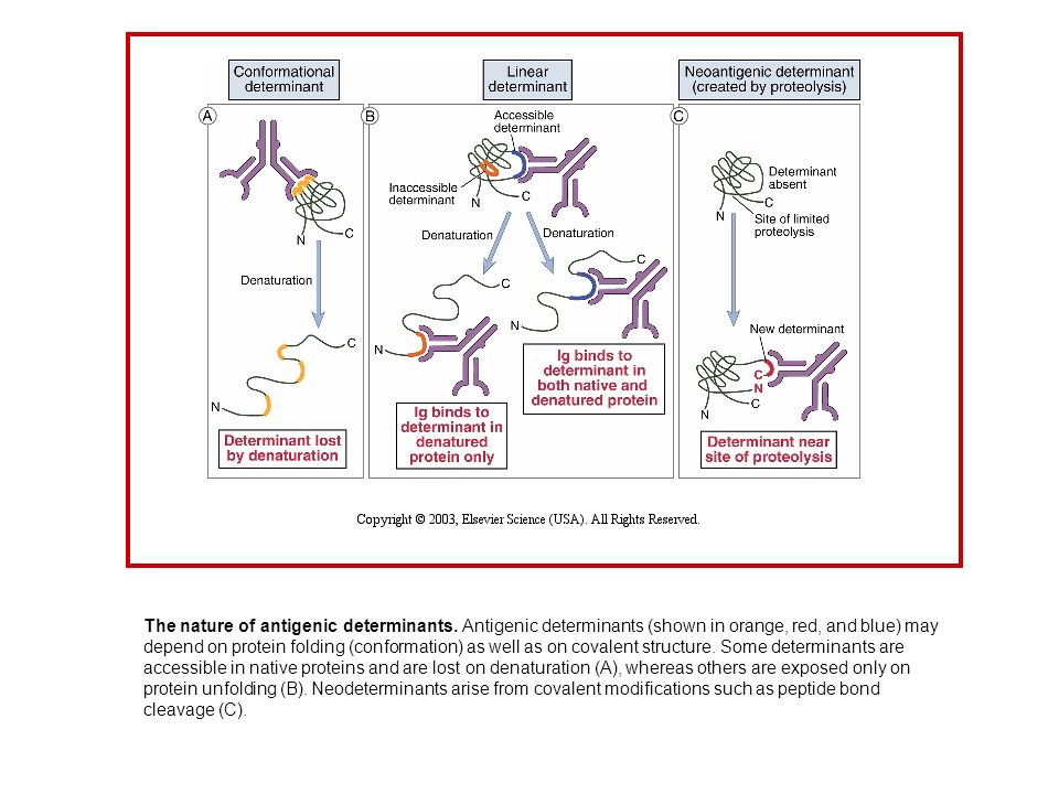 The nature of antigenic determinants