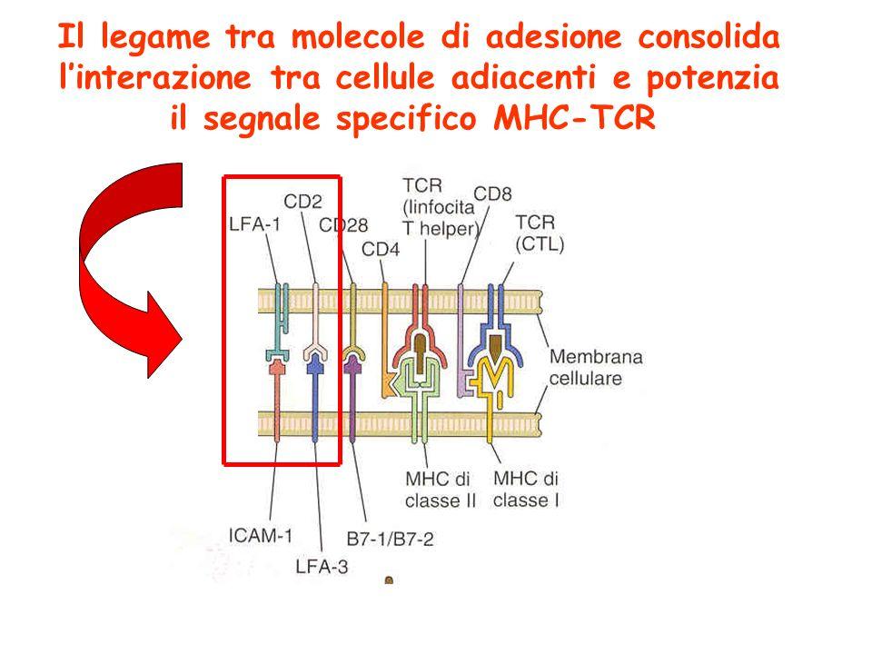 Il legame tra molecole di adesione consolida