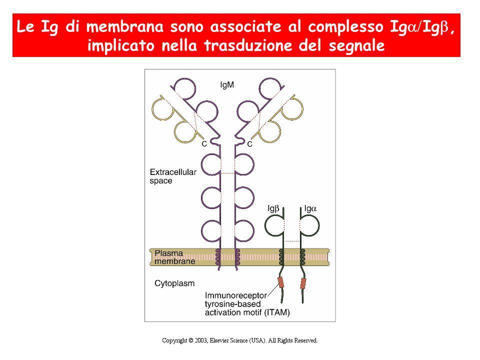 Le Ig di membrana sono associate al complesso IgIg,