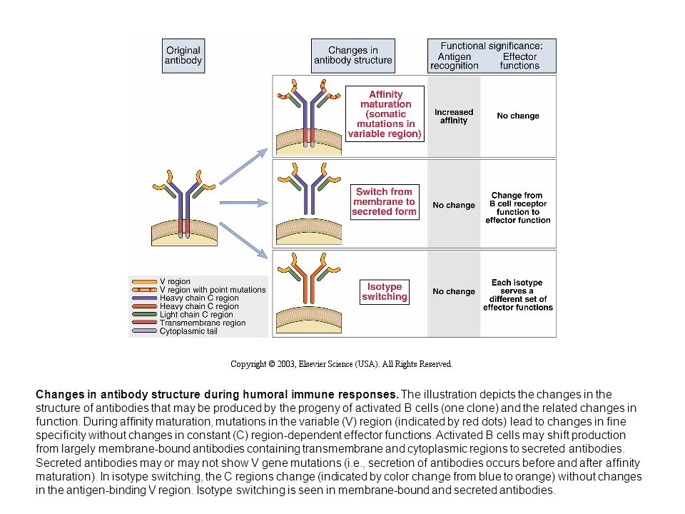 Changes in antibody structure during humoral immune responses