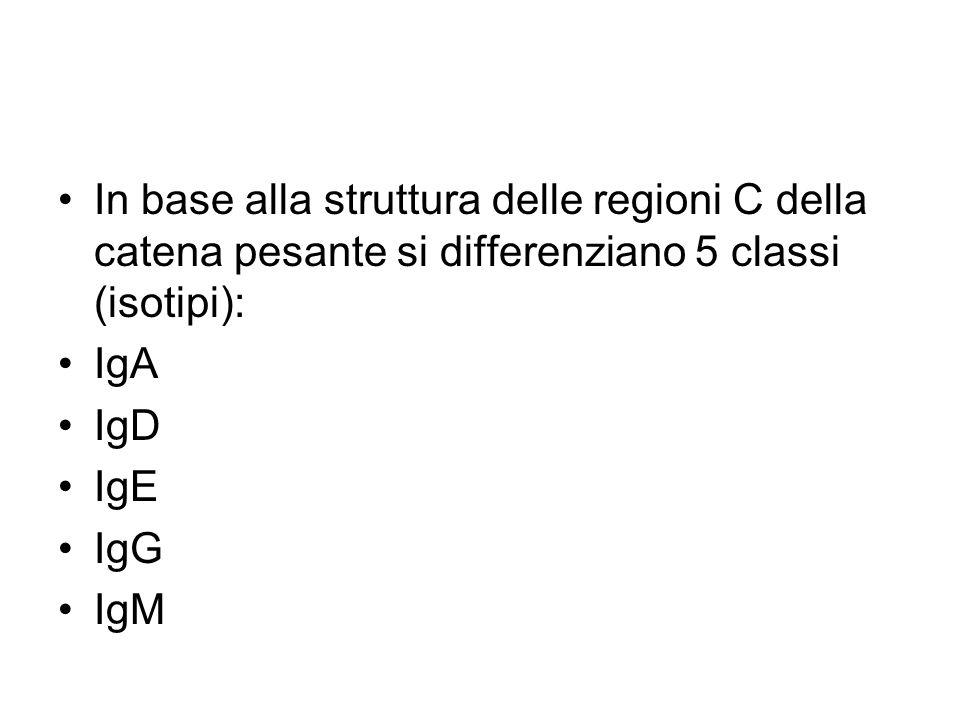 In base alla struttura delle regioni C della catena pesante si differenziano 5 classi (isotipi):
