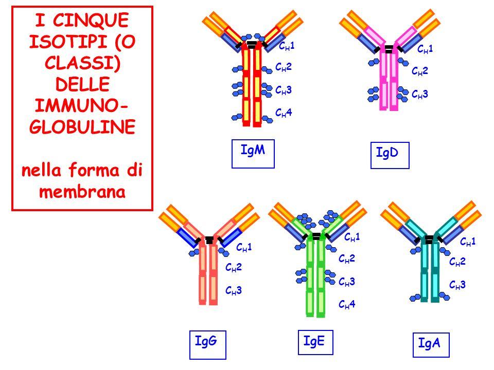 nella forma di membrana