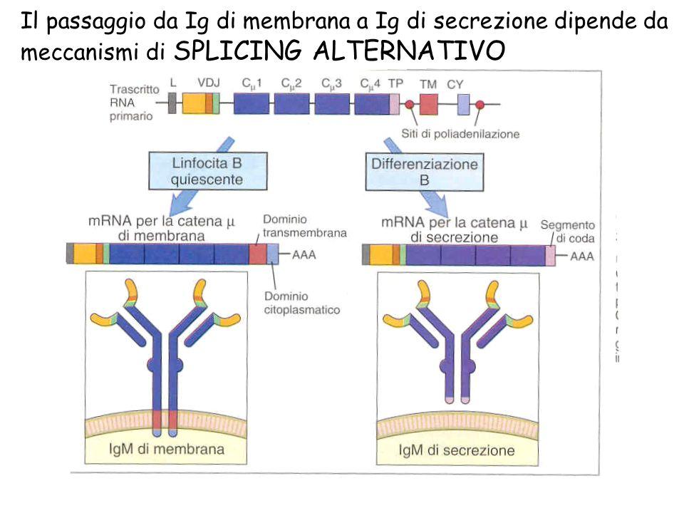 Il passaggio da Ig di membrana a Ig di secrezione dipende da