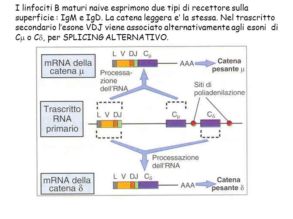 I linfociti B maturi naive esprimono due tipi di recettore sulla superficie : IgM e IgD.