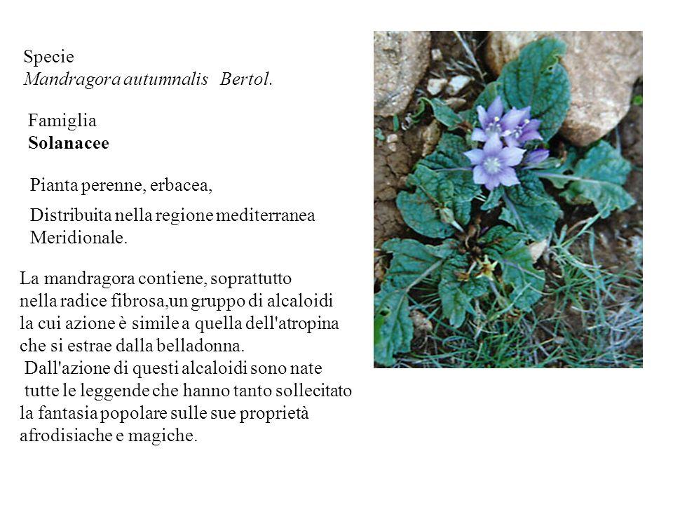 Specie Mandragora autumnalis Bertol.