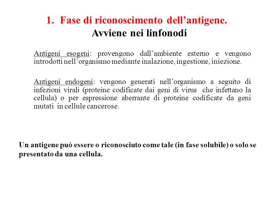 Fase di riconoscimento dell'antigene. Avviene nei linfonodi