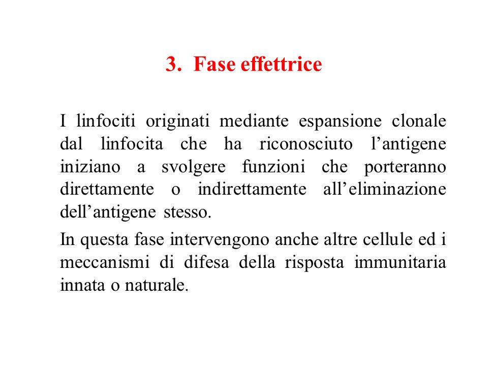 3. Fase effettrice
