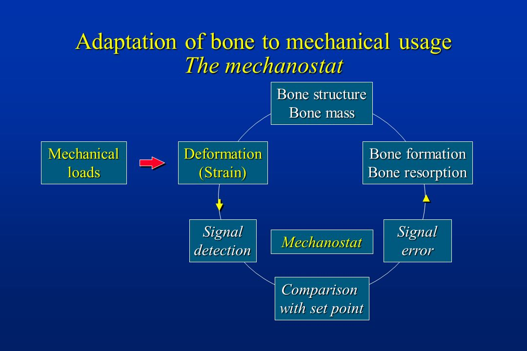 Adaptation of bone to mechanical usage The mechanostat