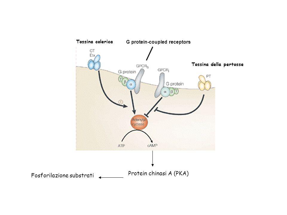 Protein chinasi A (PKA) Fosforilazione substrati