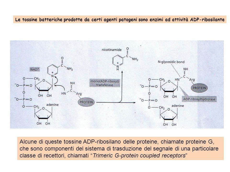 classe di recettori, chiamati Trimeric G-protein coupled receptors