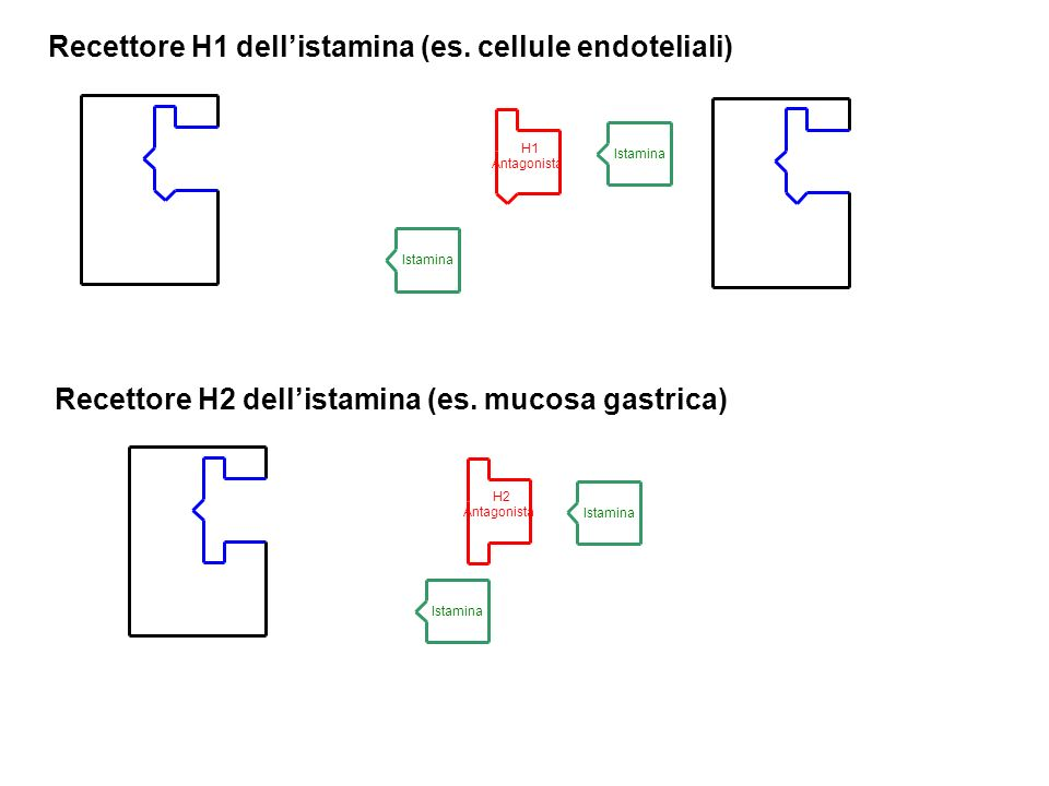Recettore H1 dell'istamina (es. cellule endoteliali)