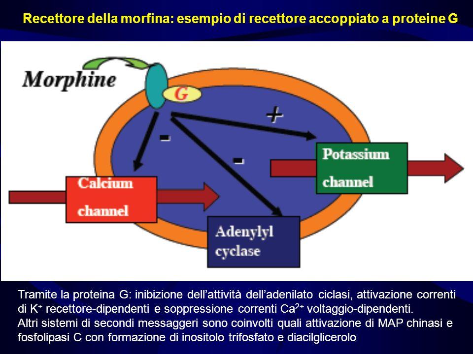 Recettore della morfina: esempio di recettore accoppiato a proteine G