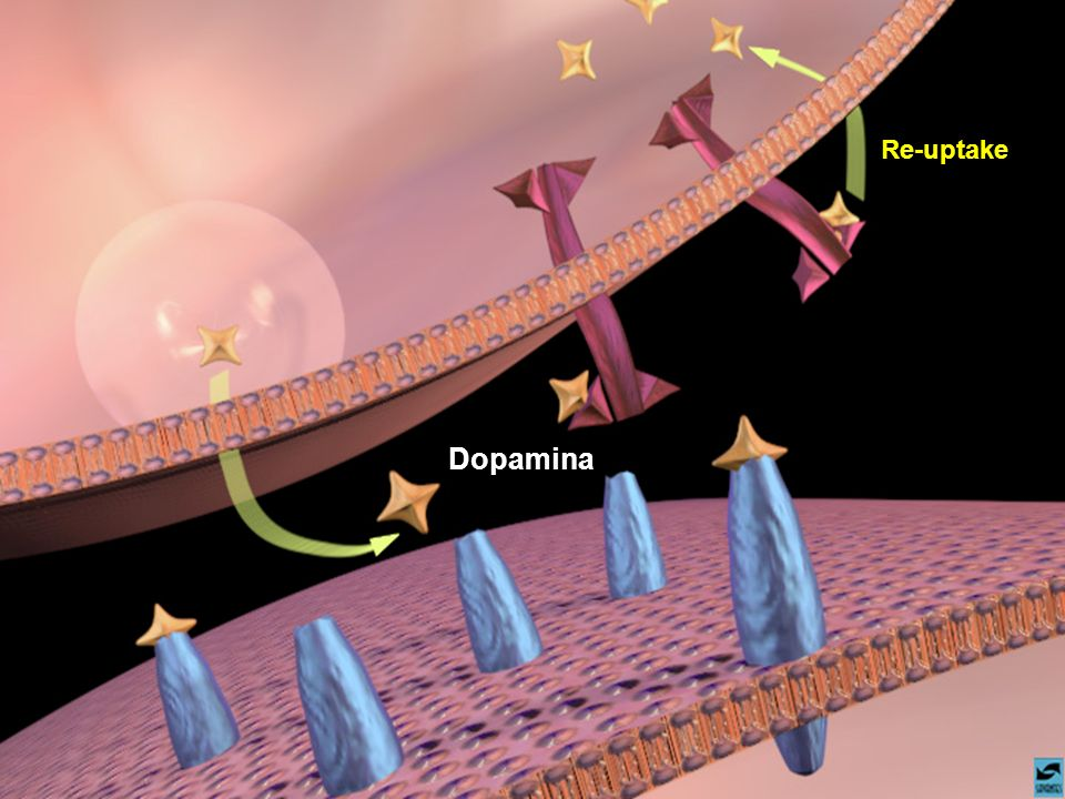 Dopamina Re-uptake. Slide 12: Dopamine binding to receptors and uptake pumps in the nucleus accumbens.