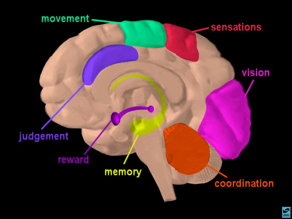 Slide 2: Brain regions and neuronal pathways