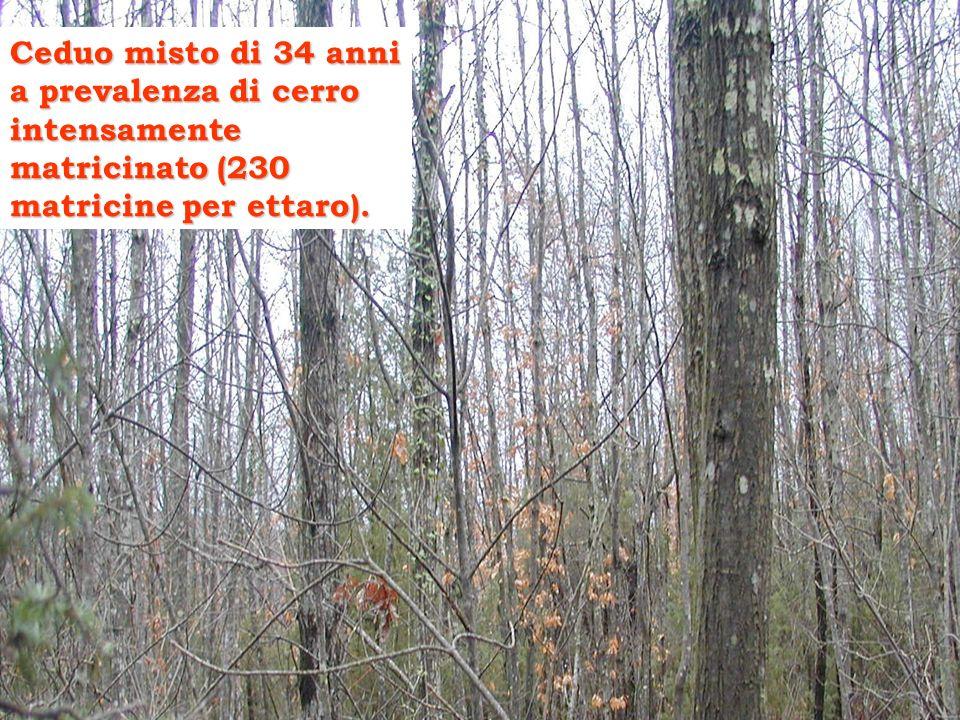 Ceduo misto di 34 anni a prevalenza di cerro intensamente matricinato (230 matricine per ettaro).