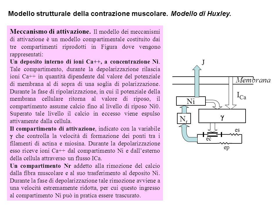 Modello strutturale della contrazione muscolare. Modello di Huxley.