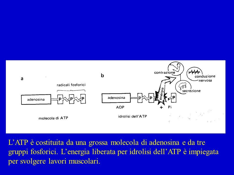 L'ATP è costituita da una grossa molecola di adenosina e da tre gruppi fosforici.