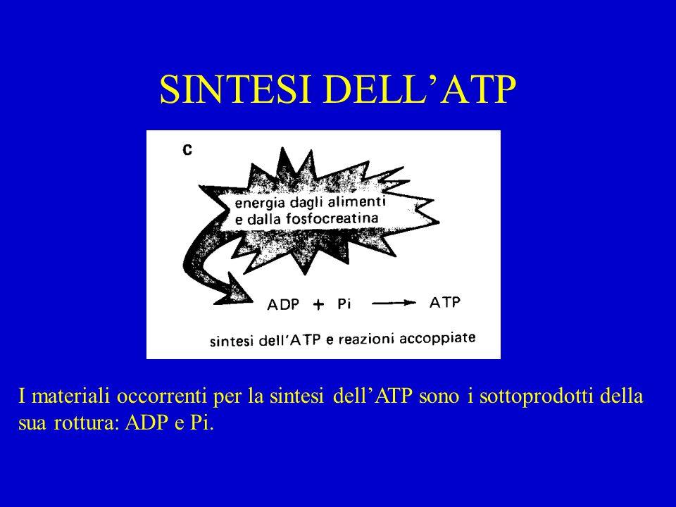 SINTESI DELL'ATP I materiali occorrenti per la sintesi dell'ATP sono i sottoprodotti della sua rottura: ADP e Pi.