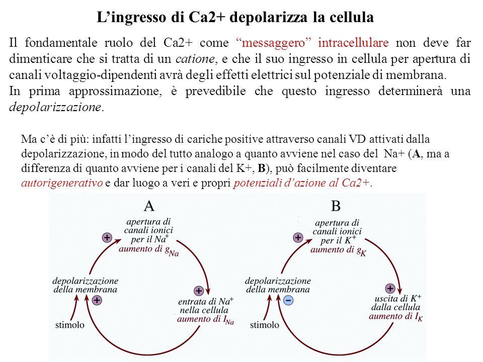L'ingresso di Ca2+ depolarizza la cellula