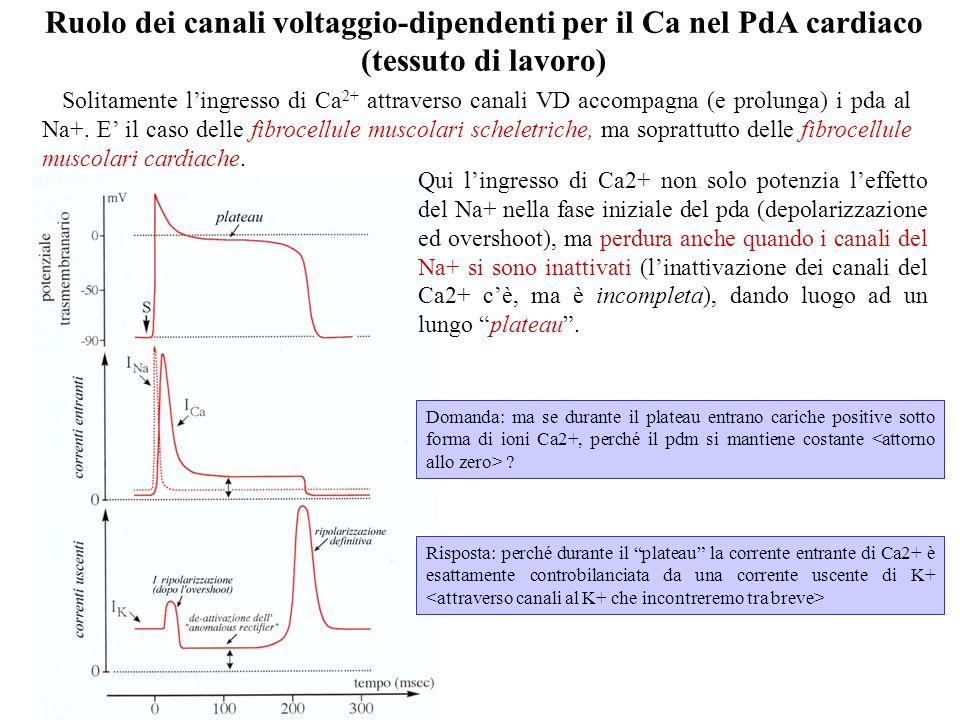 Ruolo dei canali voltaggio-dipendenti per il Ca nel PdA cardiaco (tessuto di lavoro)