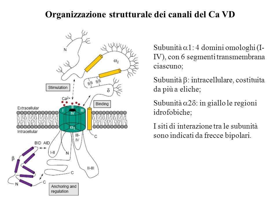 Organizzazione strutturale dei canali del Ca VD