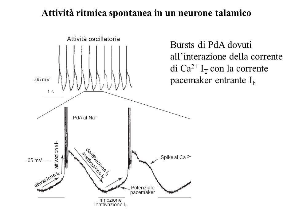 Attività ritmica spontanea in un neurone talamico