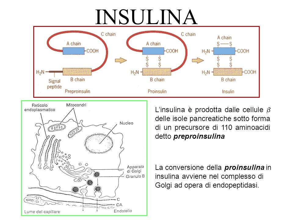INSULINA L'insulina è prodotta dalle cellule  delle isole pancreatiche sotto forma di un precursore di 110 aminoacidi detto preproinsulina.