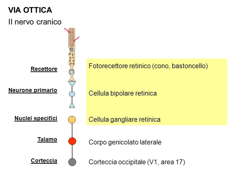 VIA OTTICA II nervo cranico Fotorecettore retinico (cono, bastoncello)