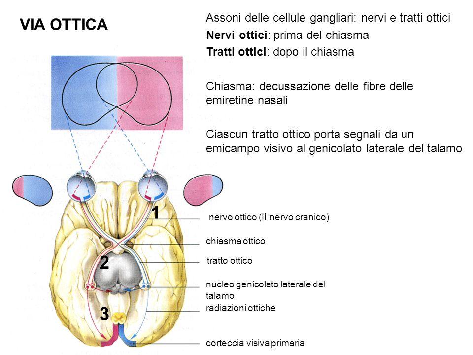1 2 3 VIA OTTICA Assoni delle cellule gangliari: nervi e tratti ottici