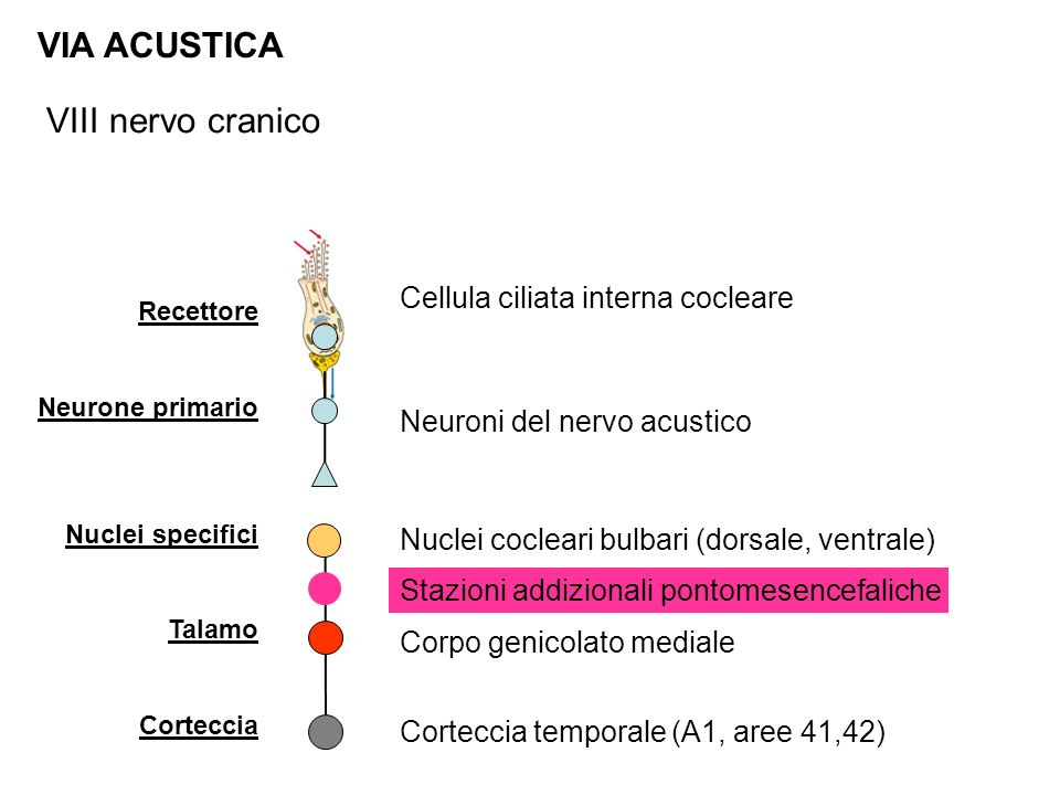 VIA ACUSTICA VIII nervo cranico Cellula ciliata interna cocleare