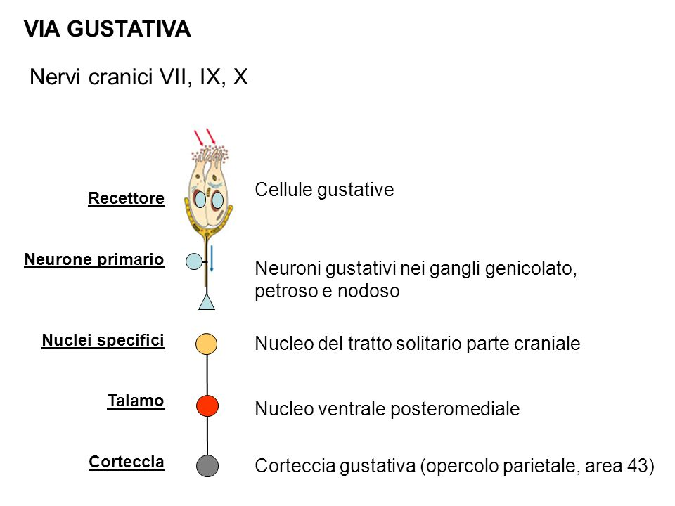 VIA GUSTATIVA Nervi cranici VII, IX, X Cellule gustative